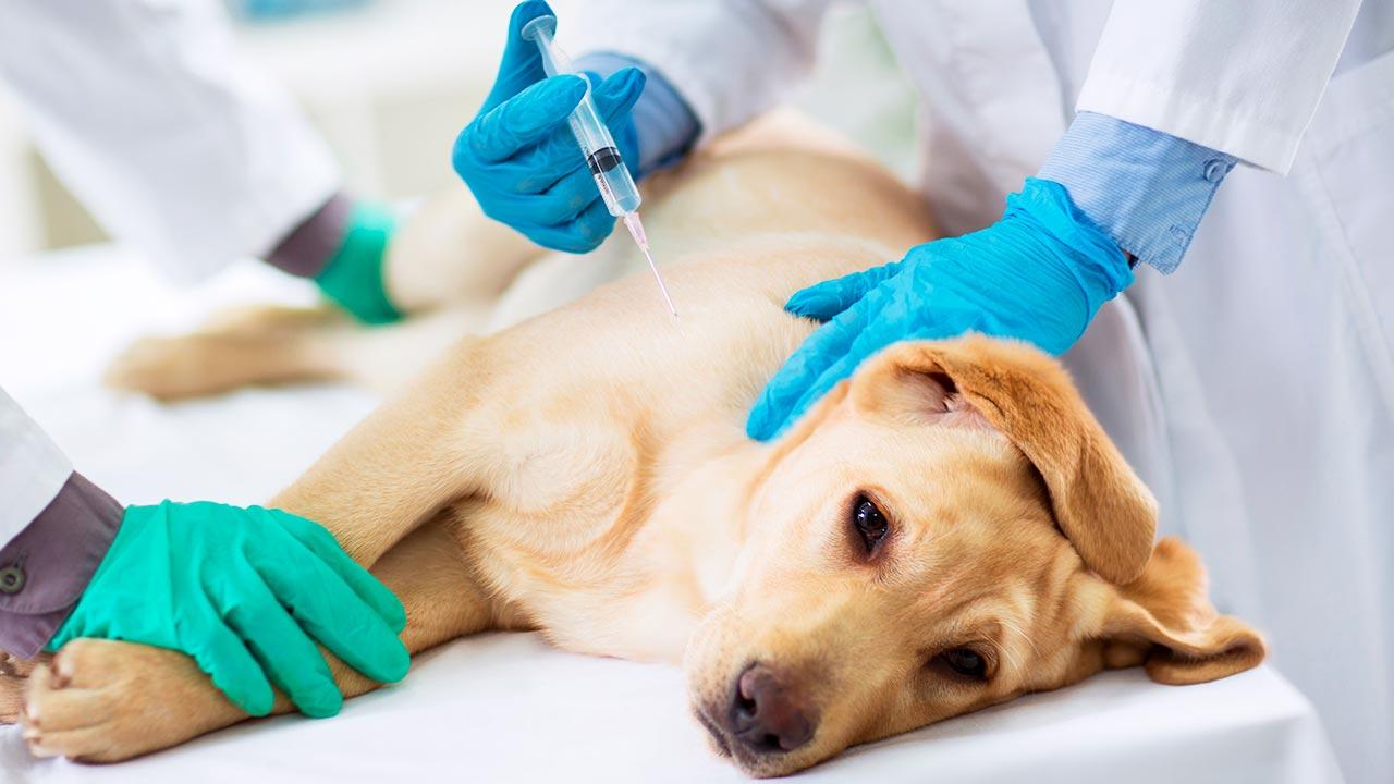 Realizamos la vacunación antirrábica de sus mascotas en Madrid